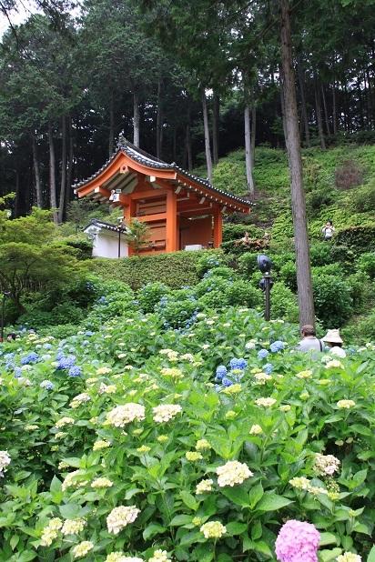 2011三室戸寺の紫陽花 137.JPG