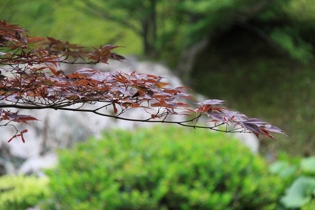 2011三室戸寺の紫陽花 165.JPG
